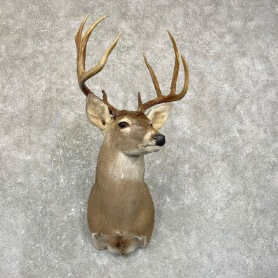 Whitetail Deer Shoulder Mount #24955 For Sale - The Taxidermy Store