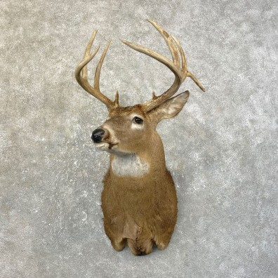 Whitetail Deer Shoulder Mount #25181 For Sale - The Taxidermy Store