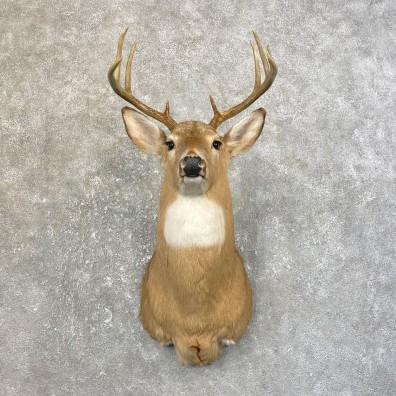 Whitetail Deer Shoulder Mount #25186 For Sale - The Taxidermy Store