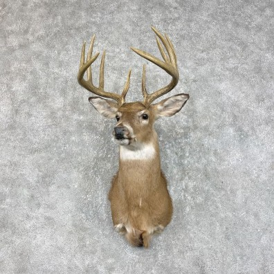 Whitetail Deer Shoulder Mount #25326 For Sale - The Taxidermy Store