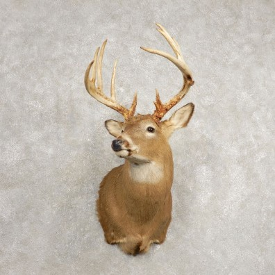 Whitetail Deer Shoulder Mount For Sale #20483 @ The Taxidermy Store