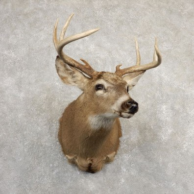 Whitetail Deer Shoulder Mount For Sale #20823 @ The Taxidermy Store