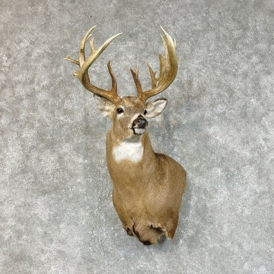 Whitetail Deer Shoulder Mount For Sale #25417 @ The Taxidermy Store