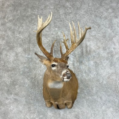 Whitetail Deer Shoulder Mount For Sale #25466 @ The Taxidermy Store