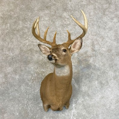 Whitetail Deer Shoulder Taxidermy Mount #24116 For Sale - The Taxidermy Store