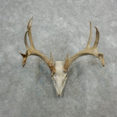 Whitetail Deer Skull European Mount For Sale #18083 @ The Taxidermy Store