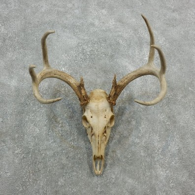 Whitetail Deer Skull European Mount For Sale #18086 @ The Taxidermy Store