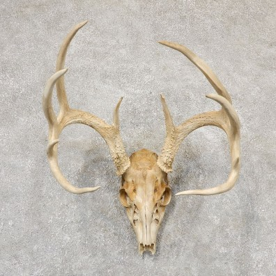 Whitetail Deer Skull European Mount For Sale #18952 @ The Taxidermy Store