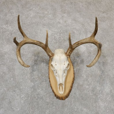 Whitetail Deer Skull European Mount For Sale #18960 @ The Taxidermy Store