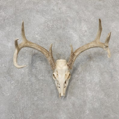 Whitetail Deer Skull European Mount For Sale #19147 @ The Taxidermy Store