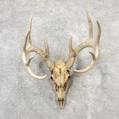 Whitetail Deer Skull European Mount For Sale #19154 @ The Taxidermy Store