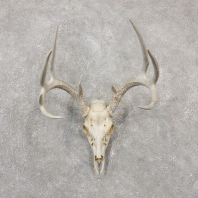 Whitetail Deer Skull European Mount For Sale #19240 @ The Taxidermy Store