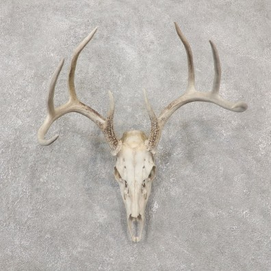 Whitetail Deer Skull European Mount For Sale #19243 @ The Taxidermy Store