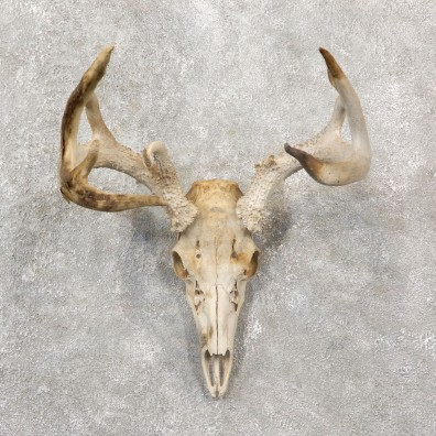 Whitetail Deer Skull European Mount For Sale #19250 @ The Taxidermy Store