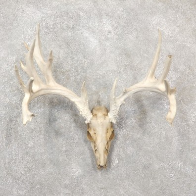 Whitetail Deer Skull European Mount For Sale #19252 @ The Taxidermy Store
