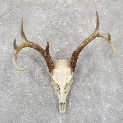 Whitetail Deer Skull European Mount For Sale #19413 @ The Taxidermy Store