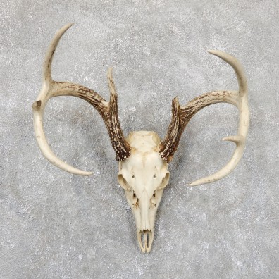 Whitetail Deer Skull European Mount For Sale #19416 @ The Taxidermy Store