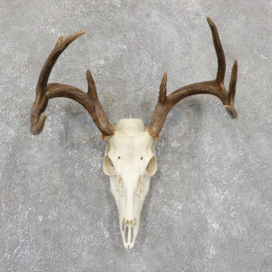 Whitetail Deer Skull European Mount For Sale #19508 @ The Taxidermy Store