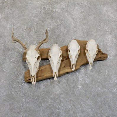 Whitetail Deer Skull European Mount For Sale #19528 @ The Taxidermy Store