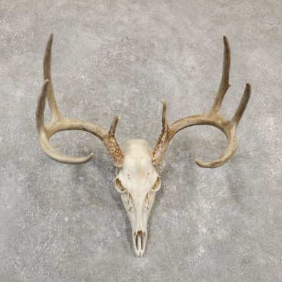 Whitetail Deer Skull European Mount For Sale #20170 @ The Taxidermy Store