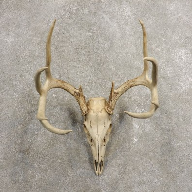 Whitetail Deer Skull European Mount For Sale #20459 @ The Taxidermy Store