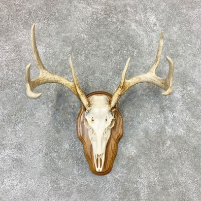 Whitetail Deer Skull European Mount For Sale #22319 @ The Taxidermy Store