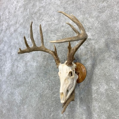 Whitetail Deer Skull European Mount For Sale #23080 @ The Taxidermy Store