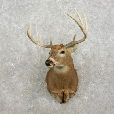 Whitetail Deer Shoulder Mount For Sale #17418 @ The Taxidermy Store