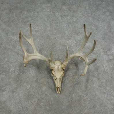 Whitetail Deer Skull European Mount For Sale #17073 @ The Taxidermy Store