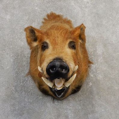 Wild Boar Shoulder Mount For Sale #21109 @ The Taxidermy Store