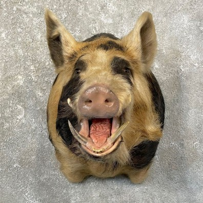 Wild Boar Shoulder Mount For Sale #25154 @ The Taxidermy Store