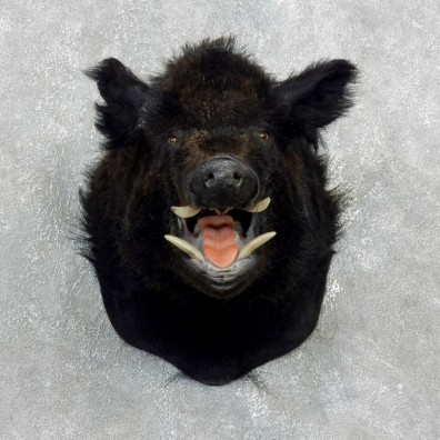 Wild Boar Shoulder Mount For Sale #17997 @ The Taxidermy Store