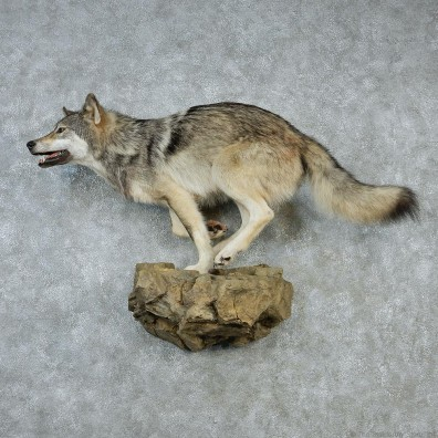 Running Grey Wolf Life-Size Taxidermy Mount #12866 For Sale @ The Taxidermy Store