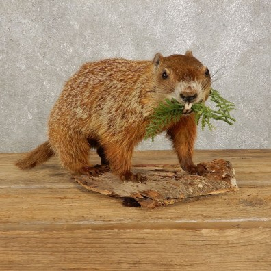 Woodchuck Life-Size Mount For Sale #20387 @ The Taxidermy Store