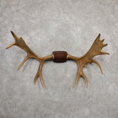 Yakutia Moose Antler Plaque For Sale #20330 @ The Taxidermy Store