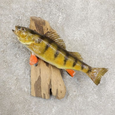 Yellow Perch Fish Mount For Sale #20944 @ The Taxidermy Store