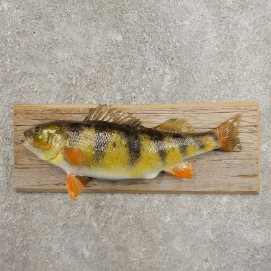 Yellow Perch Fish Mount For Sale #20954 @ The Taxidermy Store