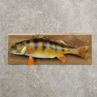 Yellow Perch Fish Mount For Sale #20956 @ The Taxidermy Store