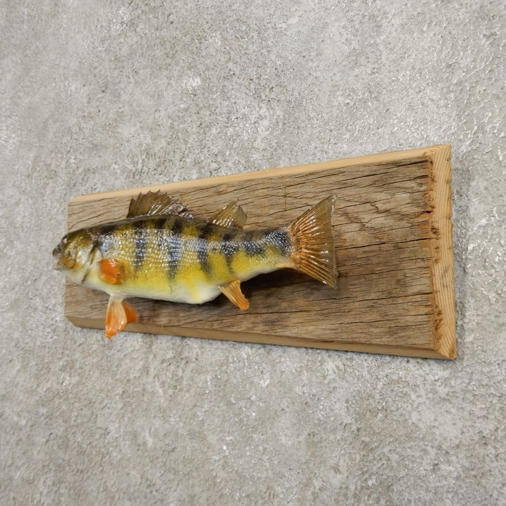 Perch Taxidermy Fish Mount For Sale #20947 - The Taxidermy ...