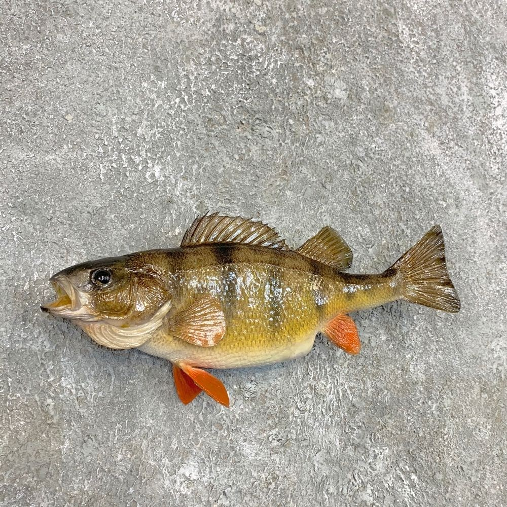 Perch Taxidermy Fish Mount For Sale #22499 - The Taxidermy ...