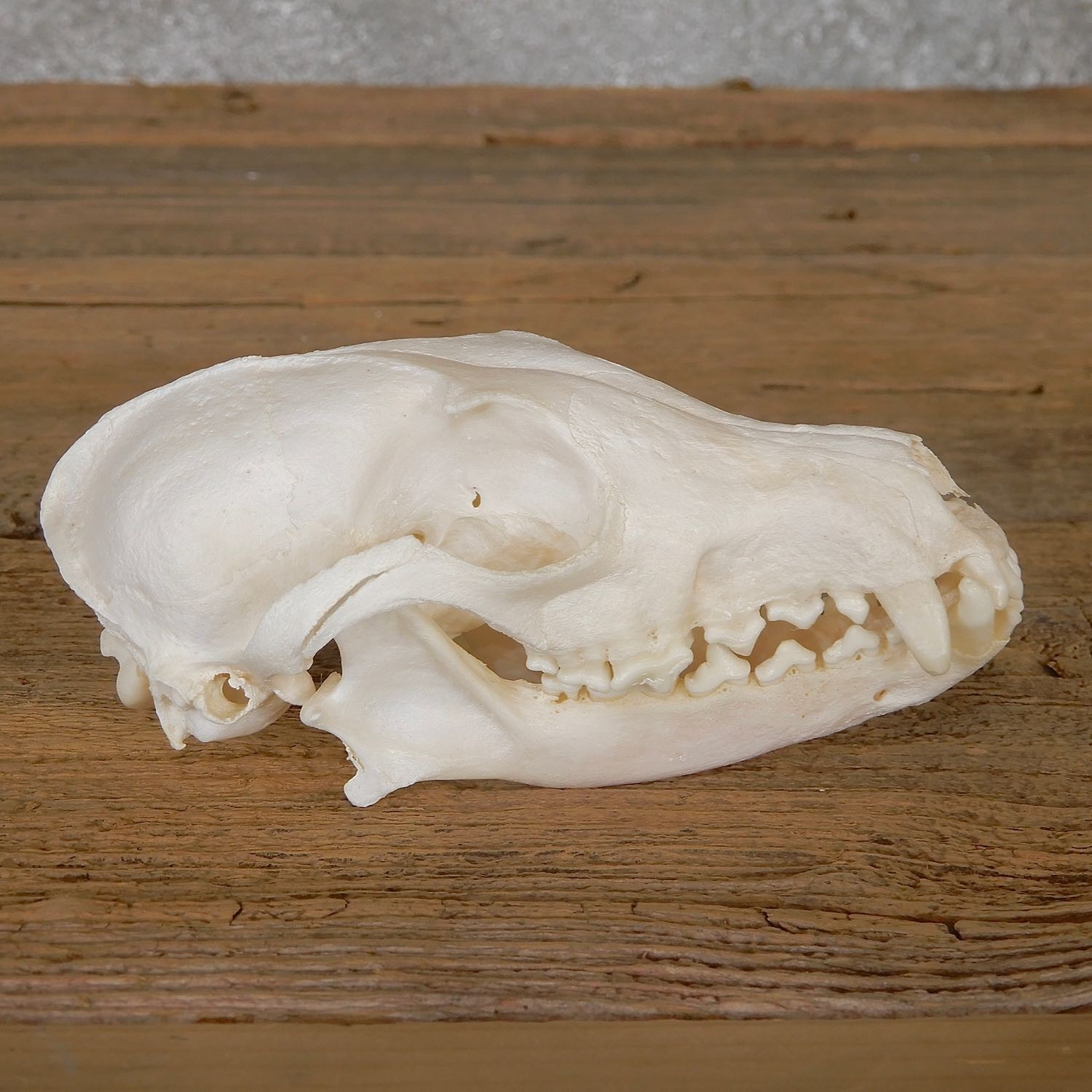 Pathology Arctic Fox Skull For Sale 19273 The Taxidermy Store Buy floral fox skull (with background) art print by actiasartistry. pathology arctic fox skull taxidermy for sale