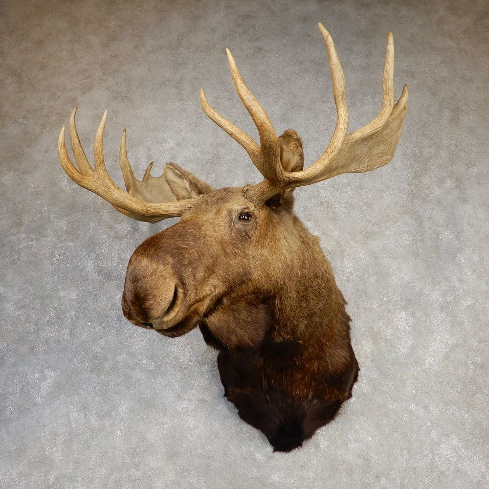 Western Canada Moose Shoulder Mount For Sale #20431 - The ...