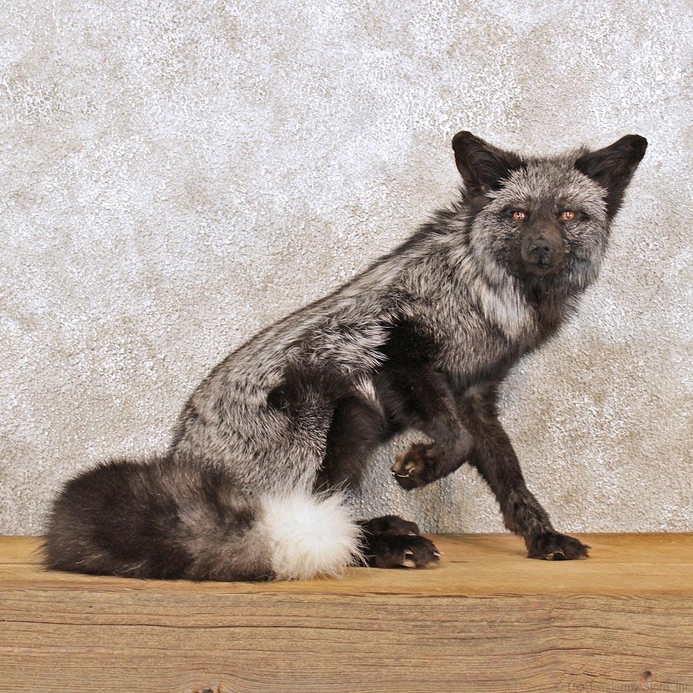 Real 925 Sterling Silver Fox tirar a través de pendientes tire a través de Fox Animal