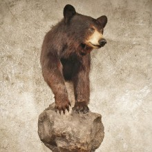 Black Bear on Rock