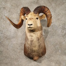 Stone Sheep Shoulder Mount #10252 - The Taxidermy Store