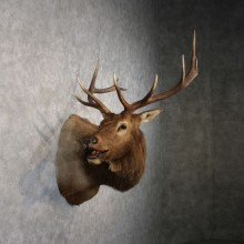 Rocky Mountain Elk Shoulder Taxidermy Head Mount #10618 For Sale @ The Taxidermy Store