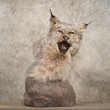 Pedestal Alaskan Lynx Mount #10752 - The Taxidermy Store