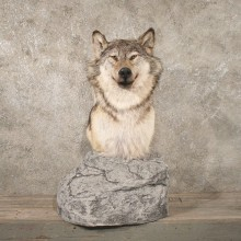 #10778 Grey Wolf Pedestal Taxidermy Mount For Sale @ The Taxidermy Store