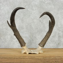 Pronghorn Taxidermy Skullcap & Horns Mount #10795 For Sale @ The Taxidermy Store