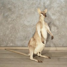 Australian Agile Wallaby Mount #10875 - For Sale - The Taxidermy Store
